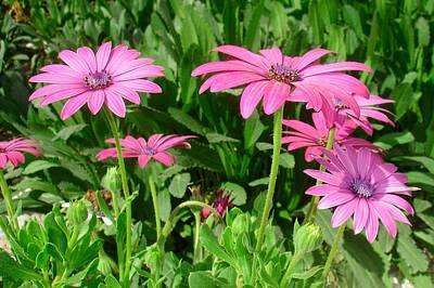 Photograph - Magenta African Daisies by Tracey Harrington-Simpson