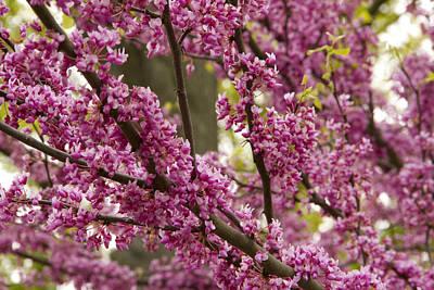 Ashlee Meyer Photograph - Magenta Blossoms by Ashlee Meyer