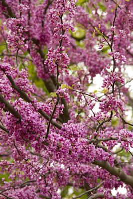 Ashlee Meyer Photograph - Magenta Blossoms II by Ashlee Meyer