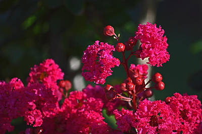 Photograph - Magenta Crepe Myrtle by Bill Swartwout