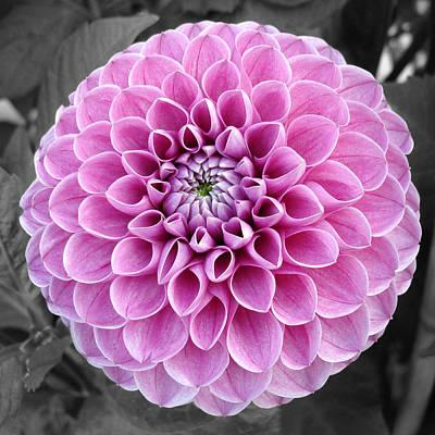 Photograph - Magenta Dahlia Flower by Sumit Mehndiratta