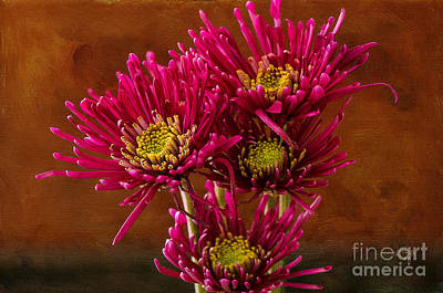 Photograph - Magenta Daisies Against Old Gold by Lois Bryan