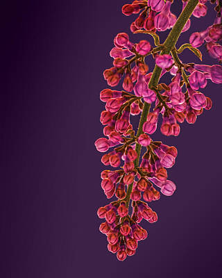 Photograph - Magenta Lilac by Don Wolf