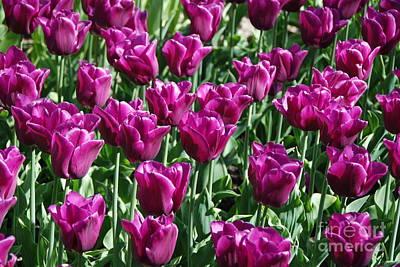 Photograph - Magenta Tulips by Allen Beatty