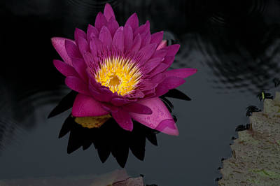 Waterlilies Photograph - Magenta Waterlily 1 by Frank Tozier