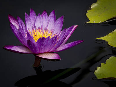 Photograph - Magenta Waterlily by Jean Noren