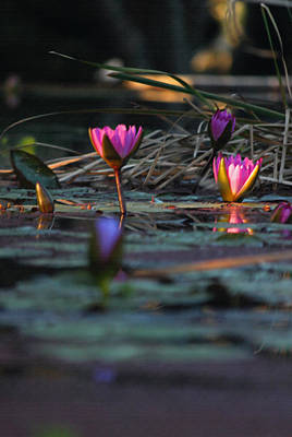 Magic In Lily Land II Art Print by Suzanne Gaff