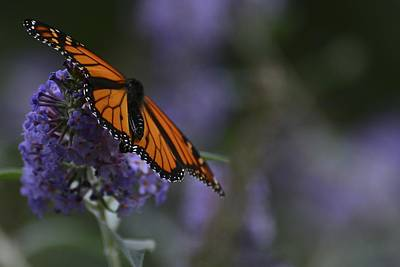 Photograph - Magic Of Monarch -3 by Rae Ann  M Garrett
