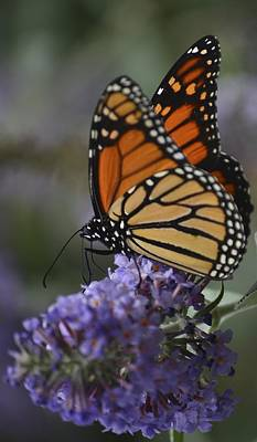 Photograph - Magic Of The Monarch -2 by Rae Ann  M Garrett
