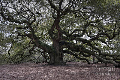 Photograph - Magical Angel Oak by Dale Powell