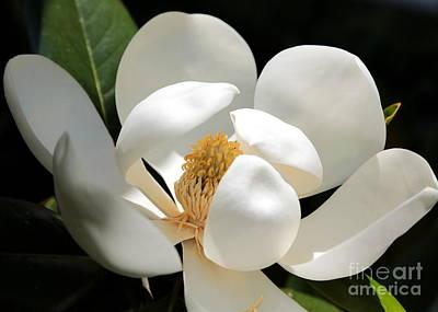 Photograph - Magical Magnolia by Carol Groenen