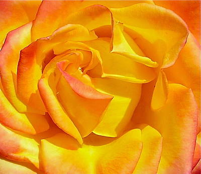 Photograph - Magma Rose Close Up by Denise Mazzocco