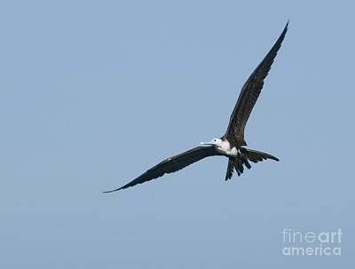 Photograph - Magnificent Frigatebird by Dan Suzio