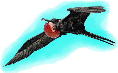 Photograph - Magnificent Frigatebird, Illustration by Roger Hall