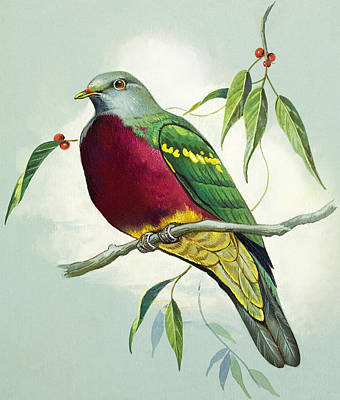 Magnificent Fruit Pigeon Art Print by Bert Illoss