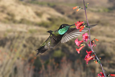 Photograph - Magnificent Hummingbird And Penstemon And Ocitillo by Gregory Scott