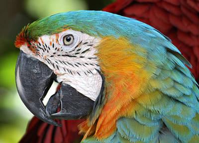 Photograph - Magnificent Macaw by David Nicholls