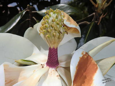 Photograph - Magnolia Magnicence  by Michele Penn