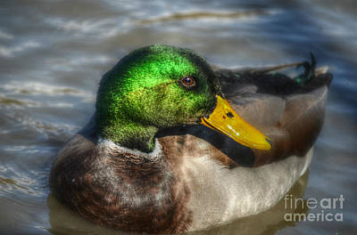 Photograph - Magnificent Mallard by Peggy Franz