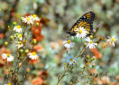 Photograph - Magnificent Monarch by Debra Thompson