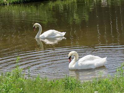 Photograph - Magnificent Swans by Lucinda VanVleck