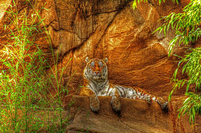 Claude Monet - Magnificent Tiger resting by Andy Lawless