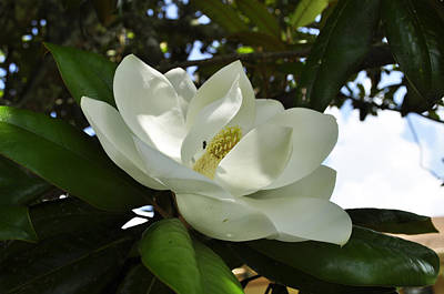 Photograph - Magnolia 11 by Terry Sita