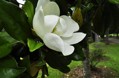 Photograph - Magnolia 4 by Terry Sita