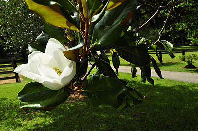 Photograph - Magnolia 7 by Terry Sita