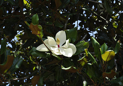 Photograph - Magnolia 9 by Terry Sita