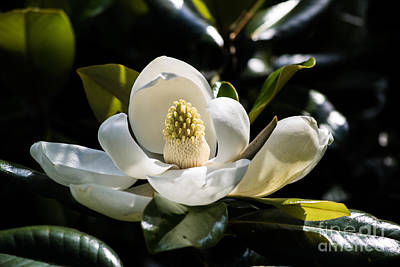 Photograph - Magnolia by Angela DeFrias