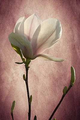 Photograph - Magnolia by Ann Lauwers