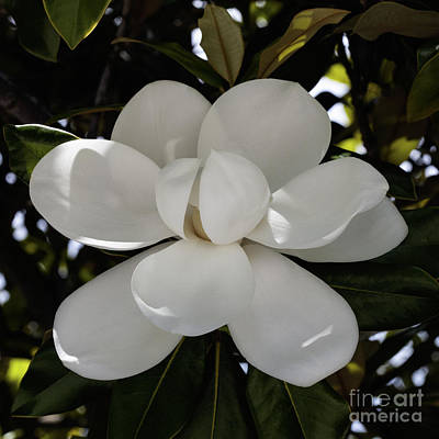 Photograph - Magnolia Beauty by Diane Macdonald