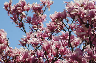 Photograph - Magnolia by Bj Hodges
