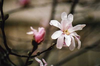 Photograph - Magnolia Blooms by Kay Novy
