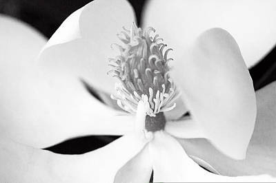 Photograph - Magnolia Blossom 1 Black And White by Dan Wells