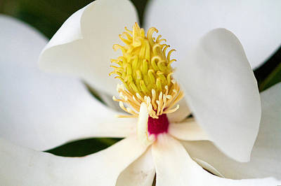 Photograph - Magnolia Blossom 1 by Dan Wells