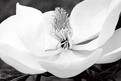 Photograph - Magnolia Blossom 2 Black And White by Dan Wells