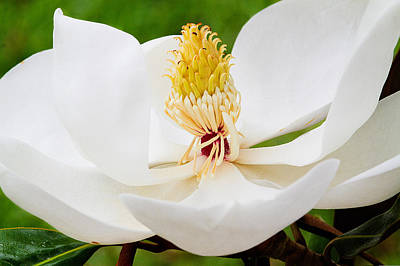 Photograph - Magnolia Blossom 2 by Dan Wells