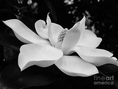 Photograph - Magnolia Blossom B W by D Hackett