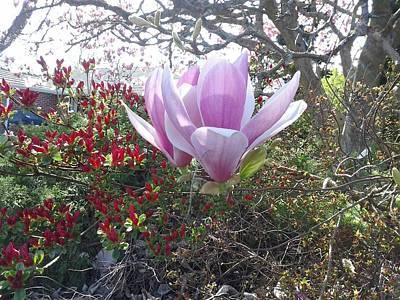 Photograph - Magnolia Blossom by David Trotter