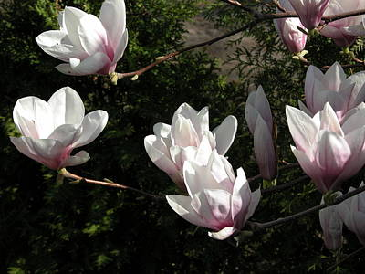 Valerie Paterson Wall Art - Photograph - Magnolia Blossom II by Valerie Paterson