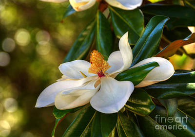 Photograph - Magnolia Blossom by Kathy Baccari