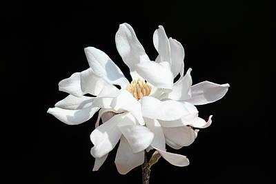 Magnolia Blossom Art Print by Trina  Ansel