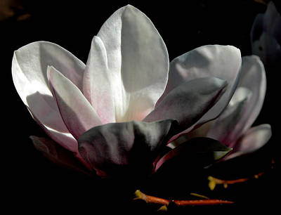 Valerie Paterson Wall Art - Photograph - Magnolia Blossom I by Valerie Paterson