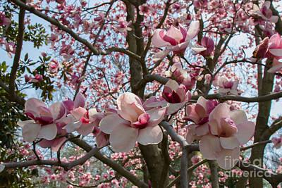 Photograph - Magnolia Blossoms 1 by Chris Scroggins