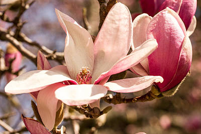 Magnolia Blossoms Art Print by Cathy Donohoue