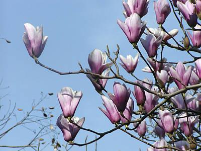 Magnolia Blossoms Original