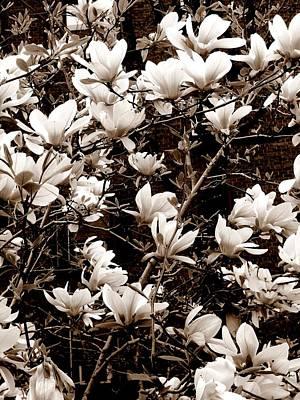 'magnolia Blossoms' Art Print