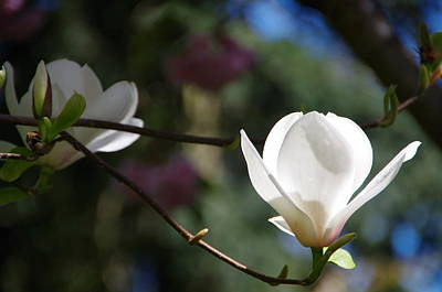 Photograph - Magnolia Blossoms by Marilyn Wilson
